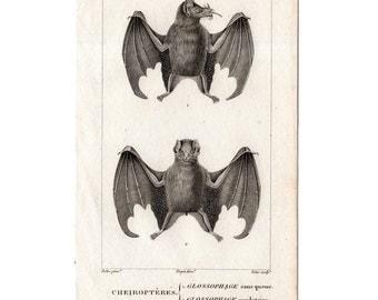 1816 ANTIQUE BAT ENGRAVING original antique print from 1816  - cheiroptera vampire bat flying fox fruit bat - no. 2