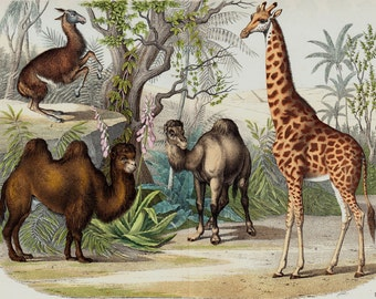 "1860 Rare Large amazing antique ANIMAL print,Giraffe, llama, dromedary camel, 156 years old, size 17'' x 13"" inches"