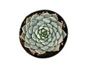 Succulent Plants // Live Potted Succulents for your Succulent Planter // Echeveria // Live High Quality Garden Plant