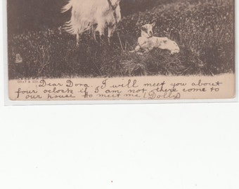 Undivided Antique Postcard W Goat And Her Kid In Pasture