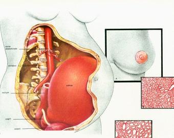 1975 Pregnancy Maternal changes Physiology Art Print print Anatomy Wall art