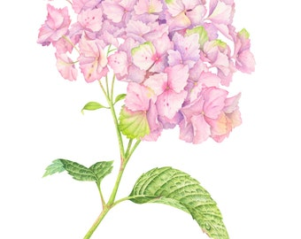 Pink Hydrangea. Botanical illustration. Fine art watercolor print.