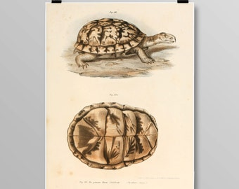 Vintage Turtle Lithograph, Turtle Wall Decor, Antique Turtles, Vintage Turtle Art, Reptile Print, Turtle print, Vintage Art Print, 374