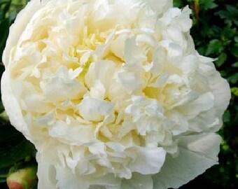 Fragrant Huge Double White Peony Duchess de Nemours (3-5 eye) ~ SHIPPING OCTOBER