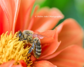 Bee Photograph Digital Download Photography Insect Flower Digital Fine Art Macro Nature Photography Floral Canvas Print Wall Art Nursery