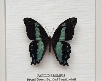 Broad Green-Banded Swallowtail Butterfly Frame