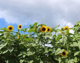 Digitial Photo- Sunflowers with storm clouds