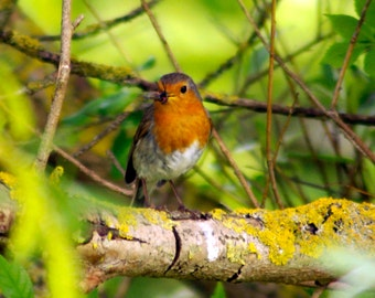 Robin photography, bird photography, nature photography, wall art Deco, fine art photography, robin photograph, animal photograph, wildlife