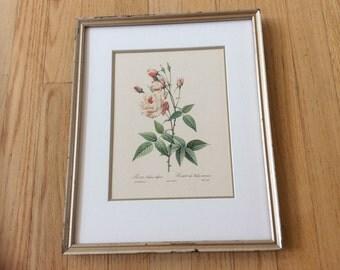 Vintage large framed botanical print of light pink old fashioned cottage roses in gold frame. Shabby chic rose botanical framed print.