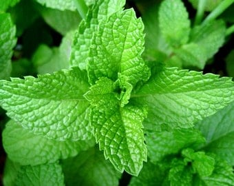 200+ ORGANICALLY Grown Peppermint Seeds Heirloom NON-GMO Easy to Grow Herb