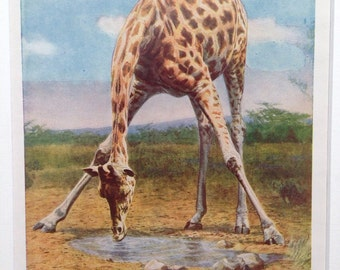 1940s GIRAFFE Print - 'The Giraffe's neck is not a bit too long!' - matted and ready to frame - 14 x 11 inches