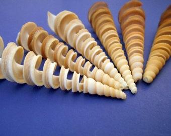 6 Beautiful Large Spiral Cut Turretella Shells Seashell Beach Crafts Nautical