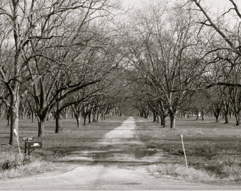 Pecan Trees in Winter Cordele, GA Photography Print