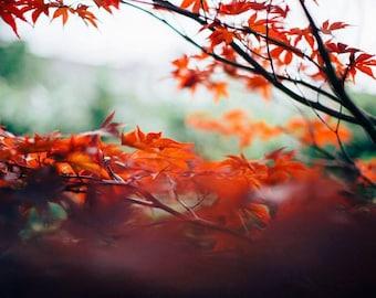 Red Japanese Maple Photo Print