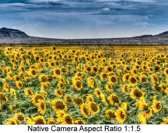Quay County Sunflowers: Landscape art photography prints for home or office wall decor.