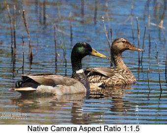 Mallard Pair: Bird art photography prints for home or office wall decor.