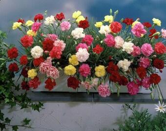Garden Carnation Flowers Dianthus Caryophyllus ENFANT DE NICE Mix color seeds 0,15 g