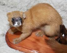 Siberian Weasel Kolinsky Taxidermy Animal Mount Natural Home Decor Stuffed Animal Art Display Hunter Gifts Ethical Genuine Fur Wooden Base