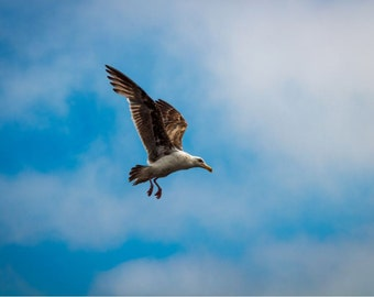 Flying Sea Gull Photography