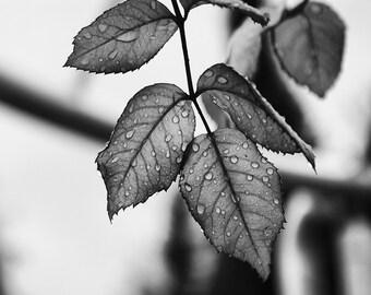 Leaf Photo - Botanical Digital Photo - Black White Wall Art - Botanic Print - Black White Print - Square - Digital Photo - Digital Download