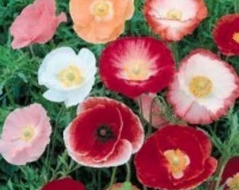Shirley Mix Poppy Flower Seeds/Papaver Rhoeas/Annual  50+