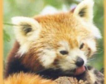Red Panda in Wild Photo