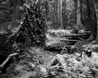 Hendy Woods, scene #01 -  monochrome of Redwoods at the Hendy Woods State Park, Mendocino County, Northern California...