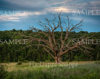 Bare Oak Tree Photograph, Country, Rustic, Landscape Photography