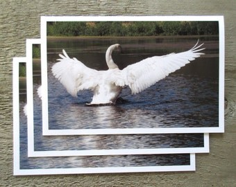 Trumpeter Swan Spreading its Wings on Water, Handmade Greeting Card, Printed directly on High Quality Paper, Three cards