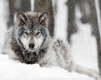 Timber! Wolf..