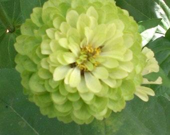 Green Envy Zinnia Seeds