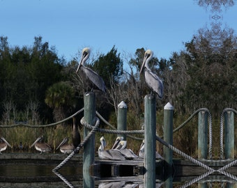 Perched Pelicans