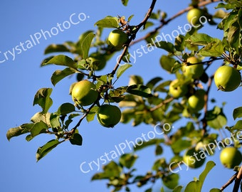 Apple Tree; Apple Photography; Fine Art Photography; Nature Photography; Summer; Digital Photography; Digital Download; Tree; Green; Blue