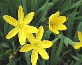 30+ Yellow Blue Eyed Grass Sisyrinchium / Perennial Flower Seeds