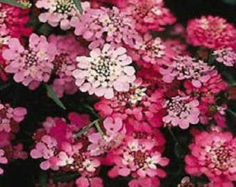 Iberis Candy Cane Mix Red Candytuft Umbellata / Annual