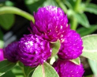 40+ Purple Gnome Gomphrena / Annual Flower Seeds