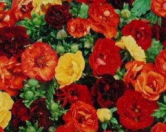 40+ Moulten Fire Mix Potentilla  Nepalenisis / Hardy Perennial / Flower Seeds