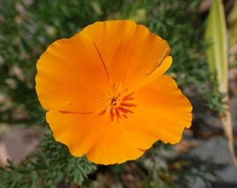 O12 - Golden Poppy 2