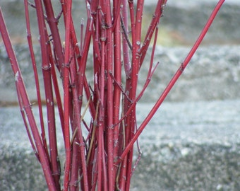 """Red Dogwood Branches (Real, Dried) in Bunches of 20 - for Weddings, Centerpieces, Crafts & Home Decor - 20"""" to 36"""""""