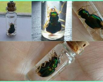 Carolina tiger beetle wet specimen pendant