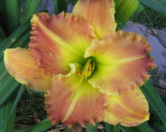 END OF SUMMER Sale Daylily 'Matt'