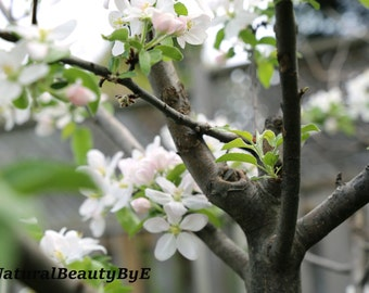 Apple tree in blossom in spring, dreamy, serene, green, grey, white tones.  Nature photography, flower photography, wall art, print.