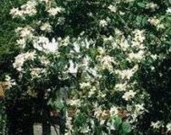 Mock Orange Jasmine (Philadelphus lewisii) 10 Seeds