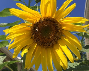 """Sunflower """"Skyscraper"""" - Heirloom - Organically grown - Non-Gmo, Untreated. Very tall and productive. 10 seeds."""