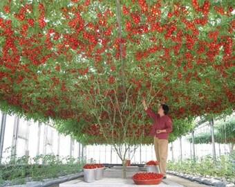 Giant tree tomato (15 SEEDS)
