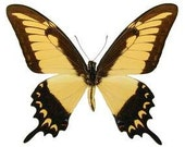 Real Papilio lycophron phanias Butterfly, Spread or laminated