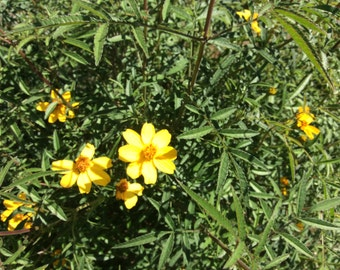 Mexican Marigold Tagetes Lemmonii