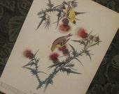 Reserved for Jennifer -  Vintage Bird Illustrations - Audubon Book Plates 1971 - Goldfinch