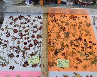 Choose your  Nemesia Flowers Grown, Pressed and Preserved in Alaska 456 FL
