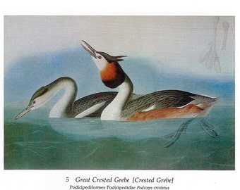Audubon Great Crested Grebe or Horned Grebe for Framing, Collage, Decoupage, Scrapbooking, Paper Arts, Assemblage and MORE PSS 2826